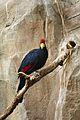 Musophaga rossae at the Denver Zoo-2012 03 12 0854.jpg