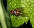 Mydaea corni - Flickr - S. rae.jpg
