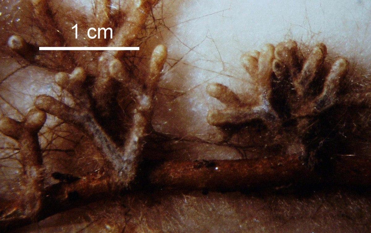 Ectomycorrhizal extramatrical mycelium wikipedia for Importance of soil wikipedia