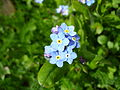 Myosotis Blue flowers.jpg