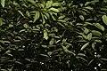 Myristica fragrans W IMG 2461.jpg
