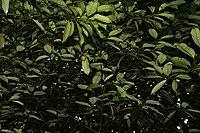 Myristica fragrans W IMG 2461