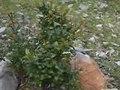 File:Myrtus communis.ogv