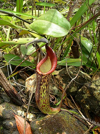 Nepenthes fusca - An intermediate pitcher of N. fusca from the Crocker Range