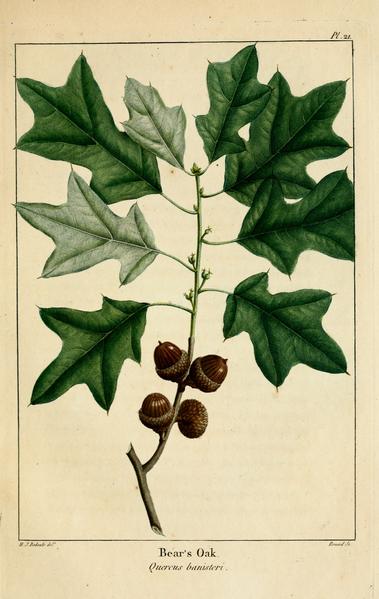 File:NAS-021 Quercus ilicifolia.png