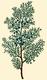 NAS-155a Juniperus virginiana.png
