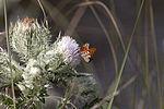 NASA Kennedy Wildlife - Gulf Fritillary Butterfly.jpg