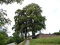 ND Drei Linden am Friedhof Oberkollwangen.jpg