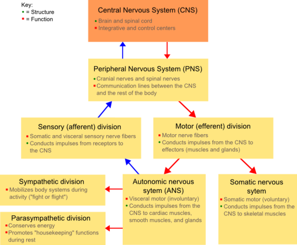 A comprehensive diagram of the Nervous System