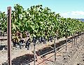 Napa Valley grapevines 1.jpg