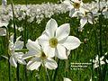 Narcissus poeticus DSC05466.JPG