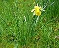 Narcissus pseudonarcissus001.jpg