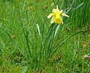 Narcissus pseudonarcissus001