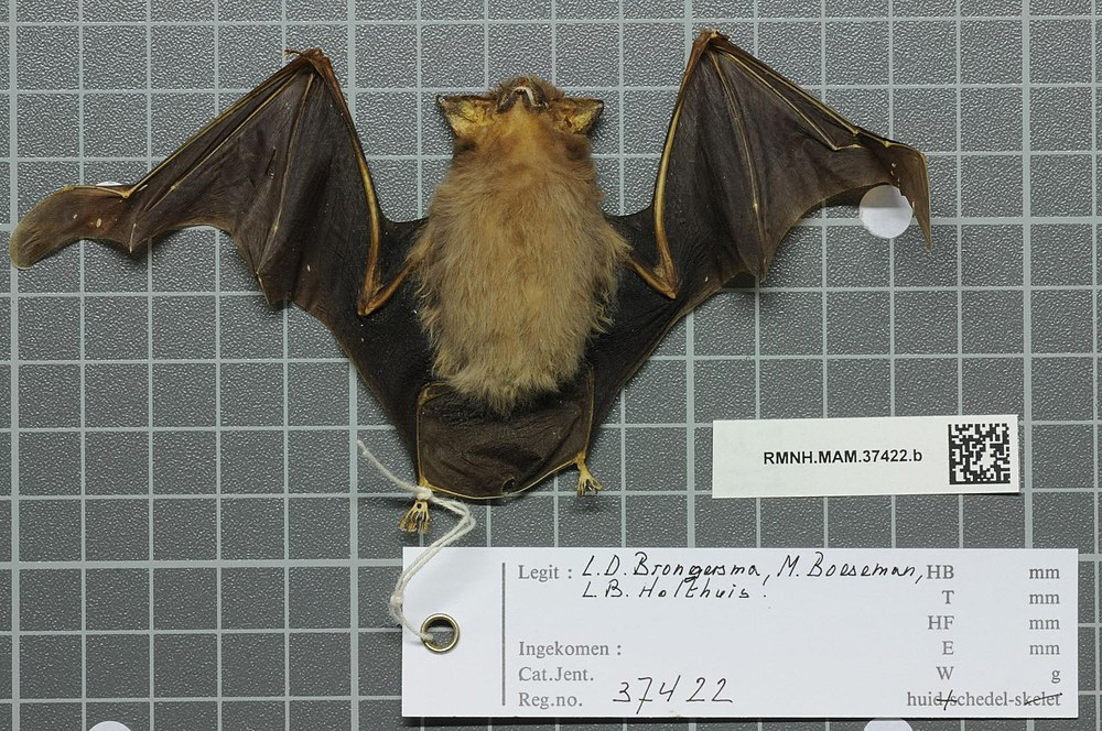 The average adult weight of a Raffray's sheath-tailed bat is 5 grams (0.01 lbs)