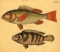 Naturgeschichte in Bildern mit erläuterndem Text (Taf. LXXXIII) (6058671705).jpg