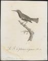 Nectarinia splendida - 1802 - Print - Iconographia Zoologica - Special Collections University of Amsterdam - UBA01 IZ19000007.tif