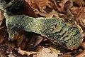 Neoboletus luridiformis (35624883784).jpg