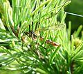 Nephrotoma appendiculata - Flickr - gailhampshire (1).jpg