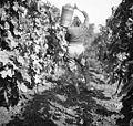 "Nese grozdje v ""kalau"" po vinogradu, Slap 1958.jpg"