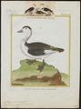 Nettapus coromandelicus - 1700-1880 - Print - Iconographia Zoologica - Special Collections University of Amsterdam - UBA01 IZ17600211.tif