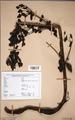 Neuchatel Herbarium Types NEU000113065.tif