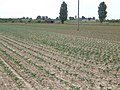 New planting north of The Wroe - geograph.org.uk - 513916.jpg