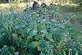 Nicandra physalodes 2008-09 sv006.jpg