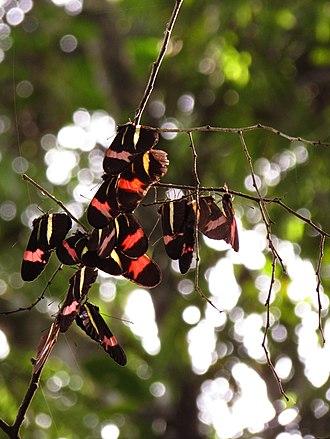 Heliconius erato - Image: Ninho de borboletas