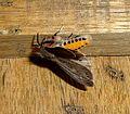 Noctuidae. Arctiidae. Arctiinae. (Spilarctia gopara^) - Flickr - gailhampshire.jpg