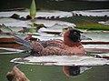 Nomonyx dominicus Pato enmascarado Masked Duck (11480417994).jpg