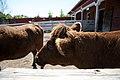 Norfolk Zoo Dexters.jpg