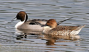 Northern pintail - Image: Northern Pintails (Male & Female) I IMG 0911