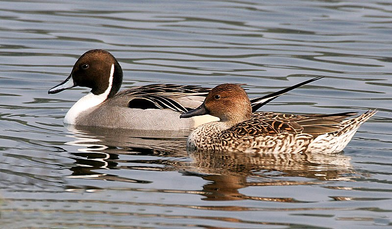 Northern Pintails (Male & Female) I IMG 0911