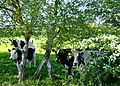 Nosey cows - geograph.org.uk - 806775.jpg