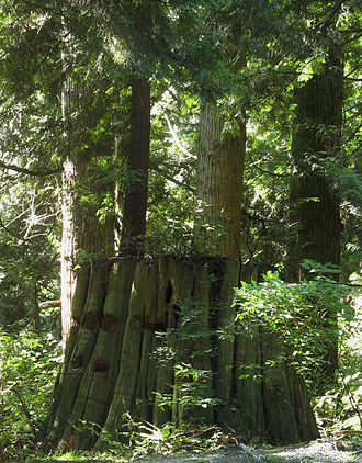 Stanley Park - Springboard notched stumps attest to pre-park logging activities.