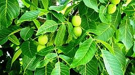 Nuts on the tree.jpg