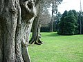 Nymans Gardens-row of trees - geograph.org.uk - 132453.jpg