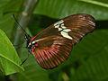 Nymphalidae - Heliconius hortense.JPG