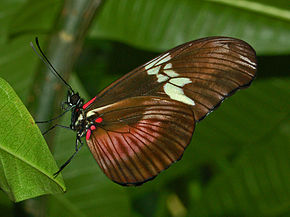 Description de l'image Nymphalidae - Heliconius hortense.JPG.