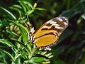 Nymphalidae - Heliconius ismenius clarescens.jpg