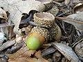 Oak Acorn P8190044.jpg
