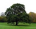 Oak tree, Barnett Demesne - geograph.org.uk - 1036306.jpg