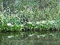 Ocala Silver River flower02.jpg