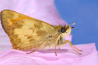 <i>Ochlodes sylvanoides</i> Species of butterfly