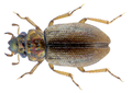 Ochthebius parvannulatus Delgado et Jaech, 2009 PARATYPE (37137439995).png