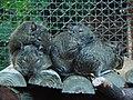 Octodon degus (Wroclaw zoo).JPG