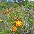 Oleta River State Park - Wild Lantana flowers 02.jpg