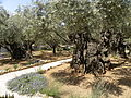 Olive trees in the traditional garden of Gethsemane (6409558307).jpg