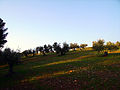 Olive trees on Dehesa del Generalife Park.JPG