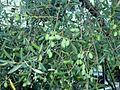 Olives Picholines Claret.JPG